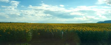 Sunflower Field bulgaria Stock Photography