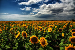 Sunflower field, Burgas, Bulgaria Royalty Free Stock Photo