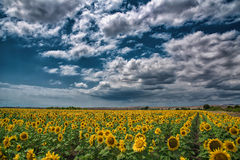 Sunflower field, Burgas, Bulgaria Royalty Free Stock Photos