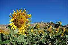 Sunflower field, Andalusia, Spain. Royalty Free Stock Image
