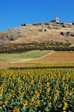 Sunflower field, Teba, Andalusia, Spain. Stock Photos