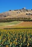 Sunflower field, Teba, Andalusia, Spain. Stock Photos
