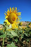 Sunflower field, Teba, Andalusia. Stock Image