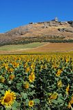 Sunflower field, Teba, Andalusia. Stock Images
