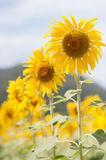 Sunflower. Of  field in Central of Thailand, it's bright summer, yellow, warm, landscape and scenery farm Stock Image