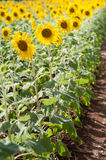 Sunflower. Of  field in Central of Thailand, it's bright summer, yellow, warm, landscape and scenery farm Stock Images