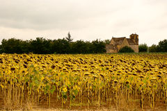 Sunflower field church Vezac Royalty Free Stock Images