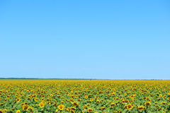 Sunflower field and clear sky, beautiful summer landscape Stock Photo