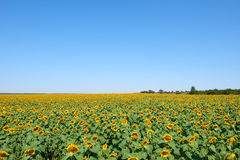 Sunflower field and clear sky, beautiful summer landscape Stock Photos