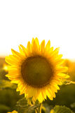 Sunflower in the field, close. Sunflower in the field on sunset Stock Photography