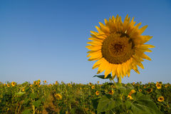 Sunflower. In the field, close up royalty free stock photos
