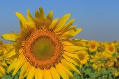 Sunflower on field Stock Image