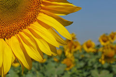 Sunflower on field. Close up of sunflower on field Stock Photography