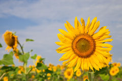 Sunflower on field close up. On the background of the plantation Stock Photo