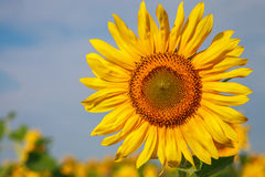 Sunflower on field close up. On the background of the plantation Royalty Free Stock Photo