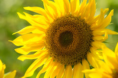 Sunflower in a field Royalty Free Stock Photos
