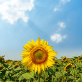 Sunflower on field close up and clouds over it Royalty Free Stock Photography
