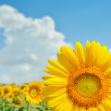 Sunflower on field close up and clouds Stock Image
