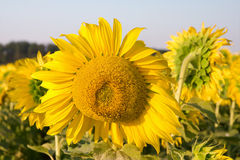 Sunflower in a field close-up stock images