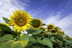 Sunflower field, close-up Royalty Free Stock Photo
