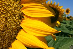 Sunflower in the field Royalty Free Stock Photography
