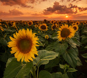 Sunflower field close up Royalty Free Stock Photography