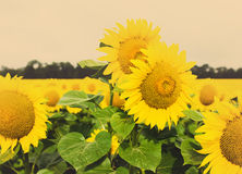 Sunflower field, Royalty Free Stock Photos