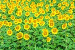 Sunflower on a field. Closeup Stock Photo