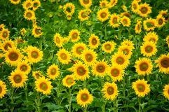 Sunflower field closeup, aerial view in summer time Royalty Free Stock Photos