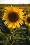 Sunflower in the field closeup Stock Image