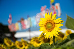 Sunflower Field Closeup Stock Photography