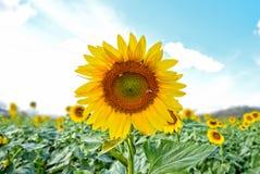 Sunflower field : Closeup Stock Photos