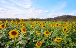 Sunflower field : Closeup Stock Images