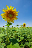Sunflower field Royalty Free Stock Photos