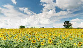 Sunflower field on cloud blue sky in Lop Buri Thailand. 2015 Royalty Free Stock Photography