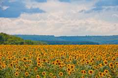 Sunflower field and clouds Royalty Free Stock Photography