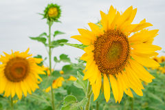 Sunflower field with cloudy blue sky Royalty Free Stock Images