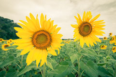Sunflower field with cloudy blue sky and green mountain background Stock Photography