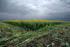 Sunflower field at a cloudy day Royalty Free Stock Image