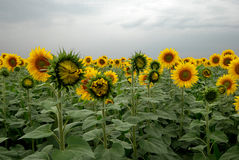 Sunflower field at a cloudy day. Close-up view of yellow sunflowers with a view of dramatic clouds Stock Photos