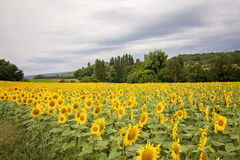 Sunflower field in a cloudy day in Provence, France Stock Photo