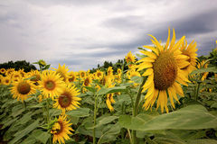 Sunflower field in a cloudy day in Provence, France Stock Photos