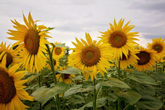Sunflower field in a cloudy day in Provence, France Stock Image