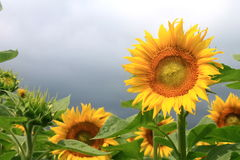 Sunflower field on a cloudy day. Royalty Free Stock Photo