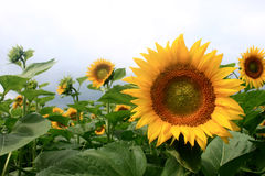 Sunflower field on a cloudy day. Stock Photography