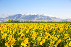 Sunflower field Stock Photo