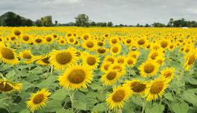 Sunflower field and cloudy sky Royalty Free Stock Image