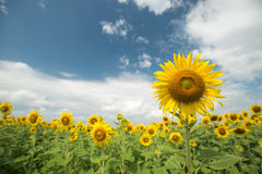 Sunflower field and cloudy sky Stock Images