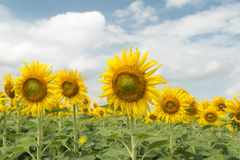 Sunflower field and cloudy sky Stock Image
