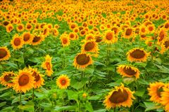 Field of blooming sunflowers Royalty Free Stock Images